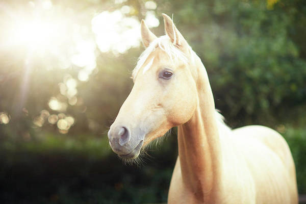 Palomino Photograph - Palomino Horse With Diamond Star by Olivia Bell Photography