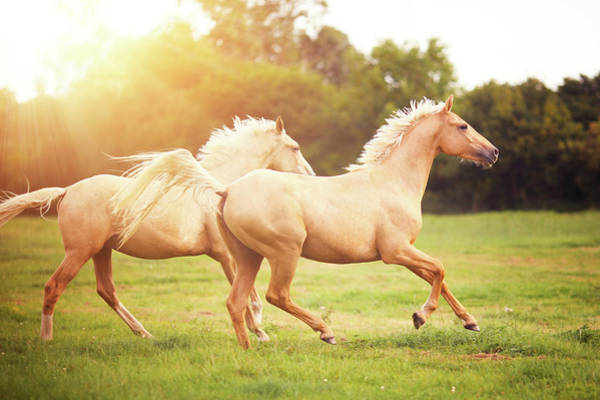Palomino Photograph - Palomino Horses Cantering In Field by Rosanna Bell