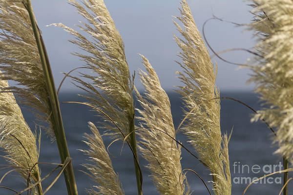 Photograph - Pampas Grass by Brian Roscorla