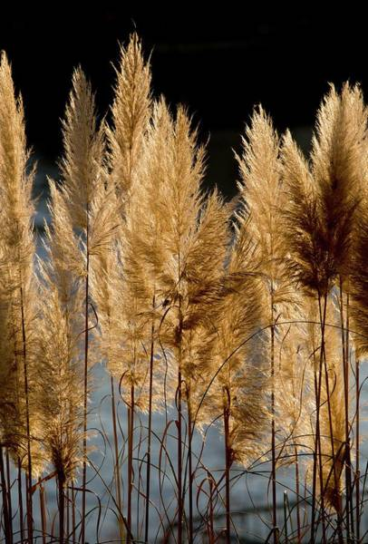 Angiosperm Photograph - Pampas Grass (cortaderia Selloana) by Bob Gibbons