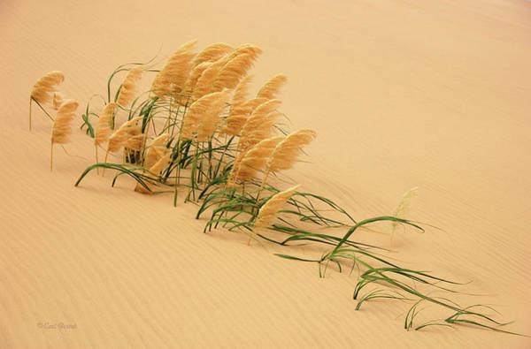 New Zealand Photograph - Pampas Grass In Sand Dune by Carl Bostek