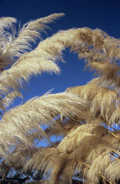 Ornamental Grass Photograph - Pampas Grass Plumes by Dr. John Brackenbury/science Photo Library