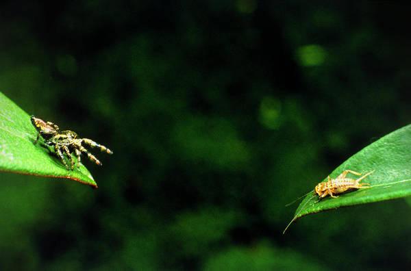 Panamaian Jumping Spider Eris Aurantia Art Print