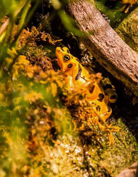 Digital Art - Panamanian Golden Frog  by Chris Flees