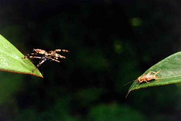 Panamanian Jumping Spider Attacks Cricket Art Print