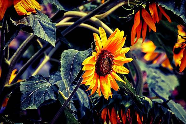 Photograph - Pancoastburg Sunflowers by Beth Akerman