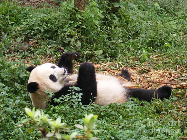 Pinyin Photograph - Panda On Back by Noa Yerushalmi