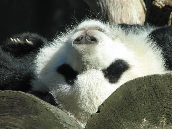 Panda Playing Possum Art Print