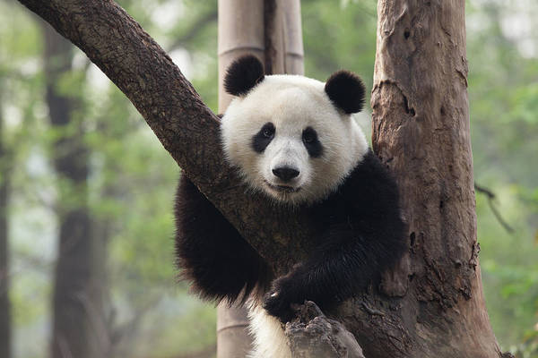 Resting Photograph - Panda Resting In A Tree by Image By Jay Schipper