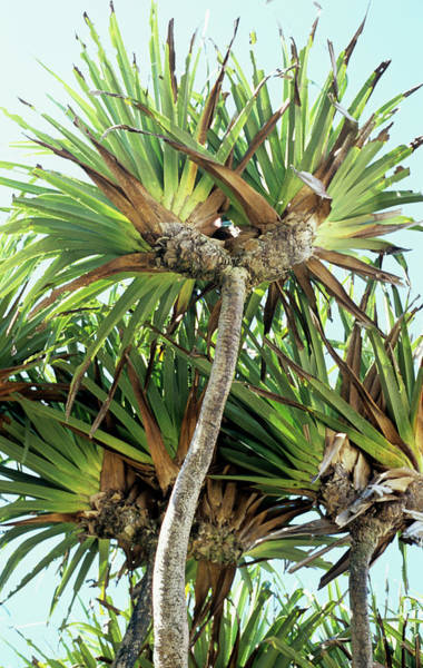 Wall Art - Photograph - Pandanus Palm by Sinclair Stammers/science Photo Library
