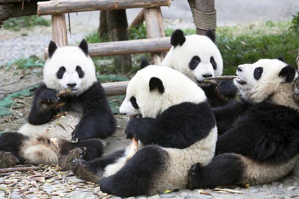 Bamboo Shoots Photograph - Pandas by King Wu