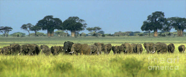 Photograph - Panorama African Elephant Herd Endangered Species Tanzania by Dave Welling