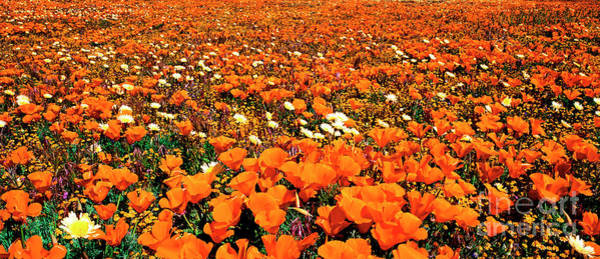 Photograph - Panorama California Poppies Desert Dandelions  by Dave Welling