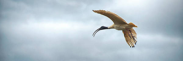 Photograph - Panoramic Photo Of Flying Ibis by Yew Kwang