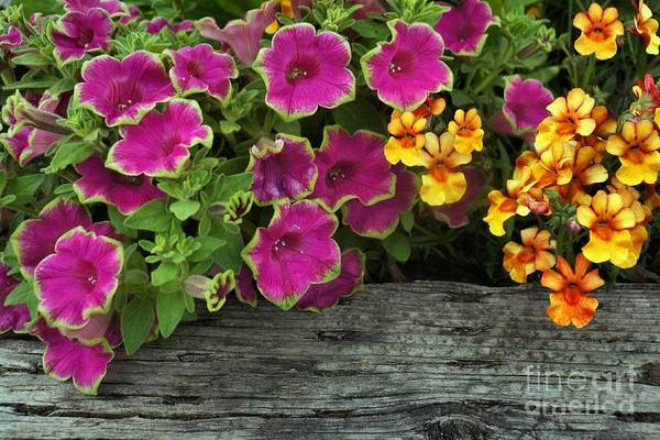 Photograph - Pansies And Petunias by Patricia Strand