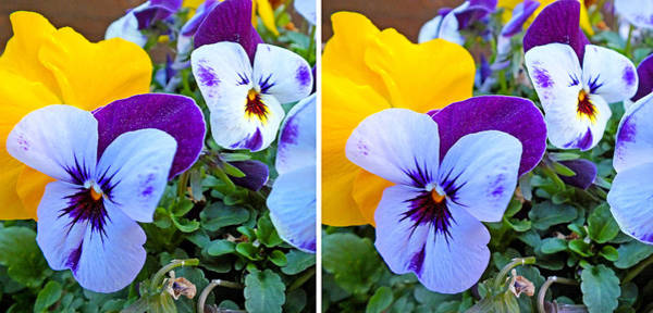 Photograph - Pansies In Stereo by Duane McCullough
