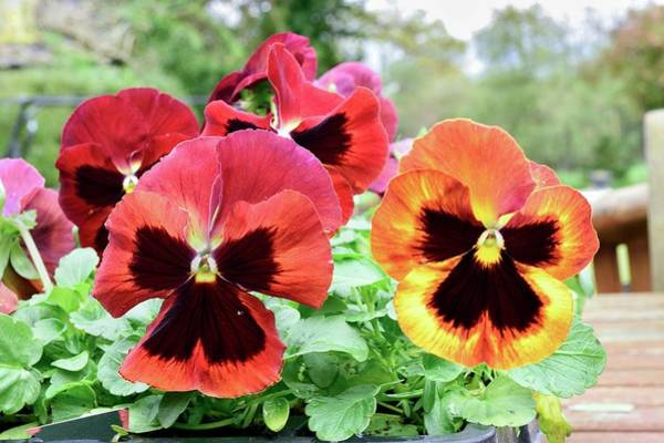 Wall Art - Photograph - Pansies 'solar Flare' by D C Robinson/science Photo Library