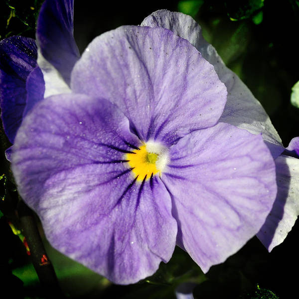 Photograph - Pansy Bloom by George Taylor