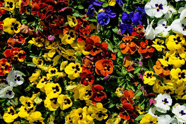 Photograph - Pansy Color Mix  by Jeanne May