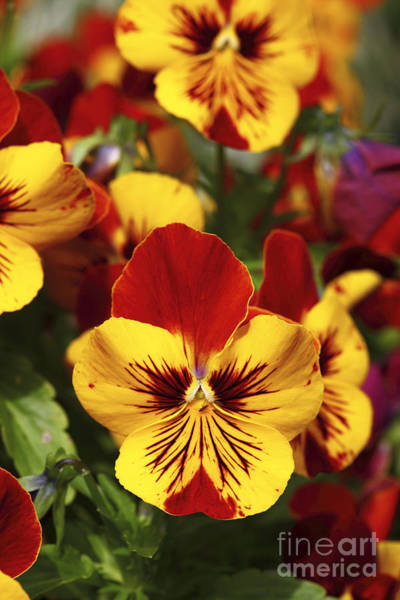 Photograph - Pansy Portrait by James Brunker