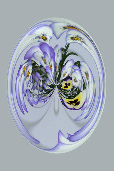 Photograph - Pansy Series 501 by Jim Baker