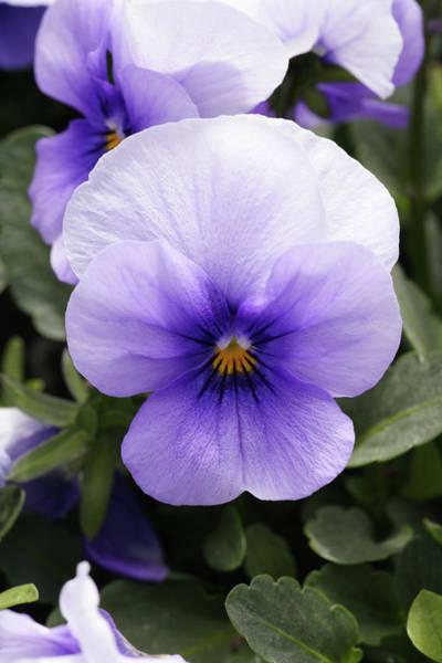 Pansy (viola Tricolor 'ice Blue') Art Print