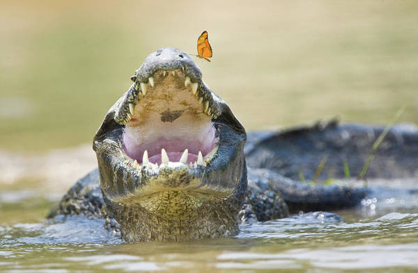 Snout Butterfly Photograph - Pantanal Caiman With Butterfly Perched by Animal Images