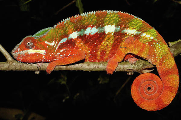 Photograph - Panther Chameleon Chamaeleo Pardalis by Pete Oxford