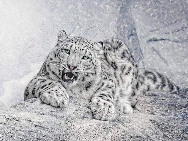 Snow Leopard Wall Art - Photograph - Panthera Uncia by Joachim G Pinkawa
