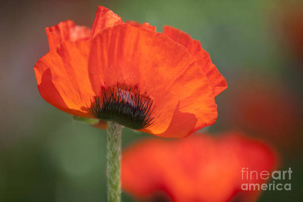 Photograph - Papaver  by Heiko Koehrer-Wagner