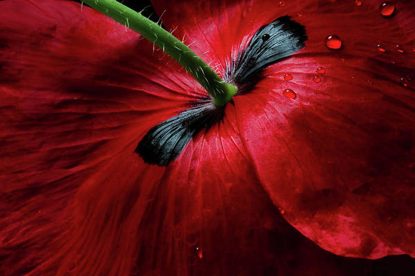 Poppies Photograph - Papaver Passion by Mandy Disher