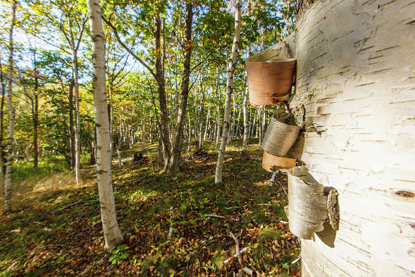 Acadia National Park Photograph - Paper Birch Trees In Maine's Acadia by Jerry and Marcy Monkman