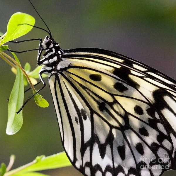 Photograph - Paper Kite Butterfly by Chris Scroggins