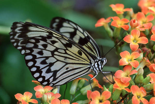 Kite Photograph - Paper Kite Butterfly by Ginny Barklow