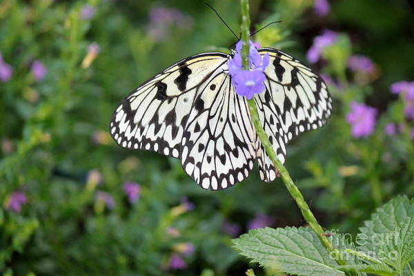 Wall Art - Photograph - Paper Kite Butterfly On Purple Flower by Eric Irion