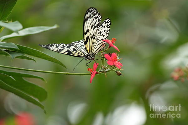 Wall Art - Photograph - Paper Kite Butterfly On Red Flower by Eric Irion