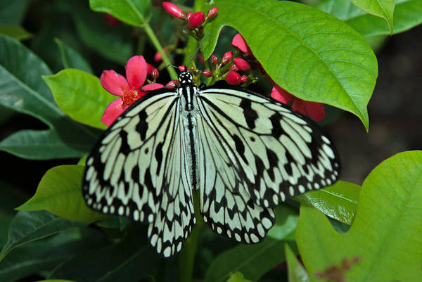 Photograph - Paper Kite Butterfly by Tam Ryan