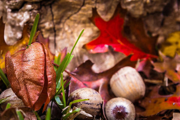 Photograph - Paper Lanterns And Acorns by Melinda Ledsome