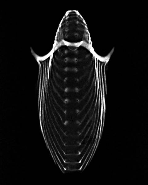 Wall Art - Photograph - Paper Nautilus Xray by William A Conklin
