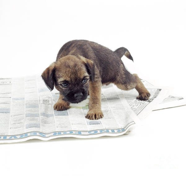 Toilet Paper Photograph - Paper-training Puppy Dog by John Daniels