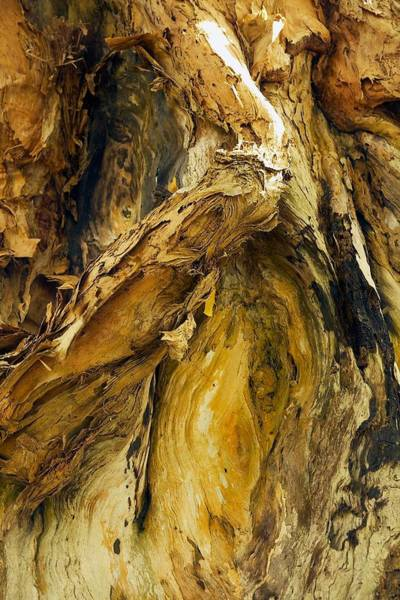Photograph - Paperbark Tree Abstract by Stuart Litoff