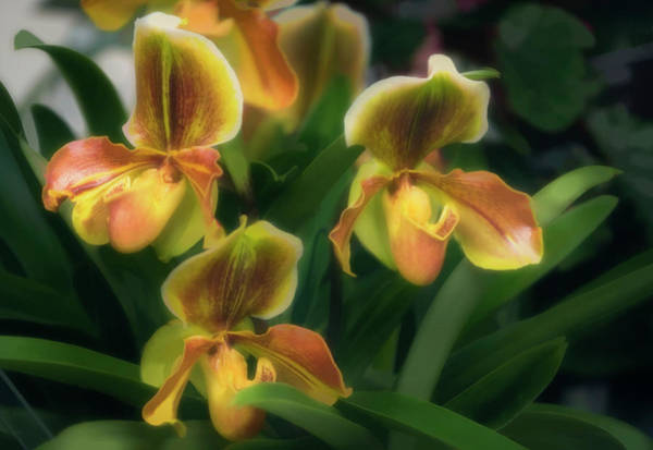 Wall Art - Photograph - Paphiopedilum Olivette Orchid by Maria Mosolova/science Photo Library