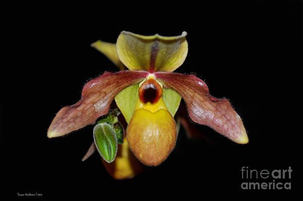 Paphiopedilum 'summer Ice' Orchid Art Print