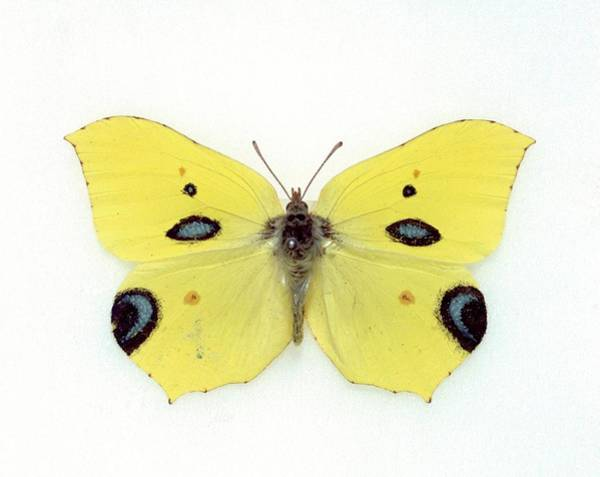 Brimstone Photograph - Papilio Ecclipsis by Natural History Museum, London/science Photo Library