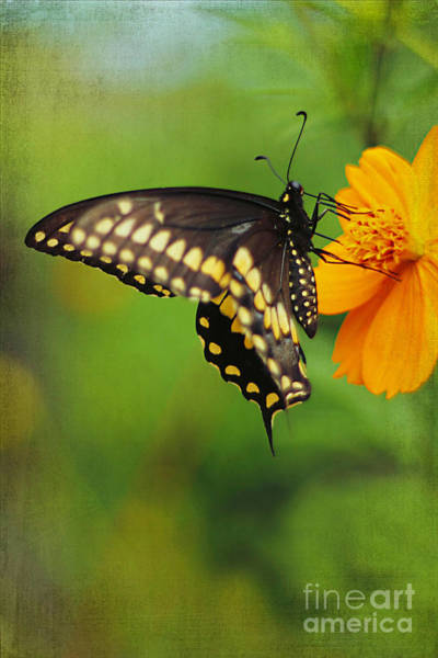 Papilio Polyxenes Wall Art - Photograph - Papilio Polyxenes by Darren Fisher