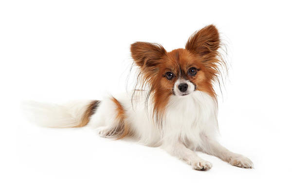 Spaniel Photograph - Papillon Dog Laying  by Susan Schmitz
