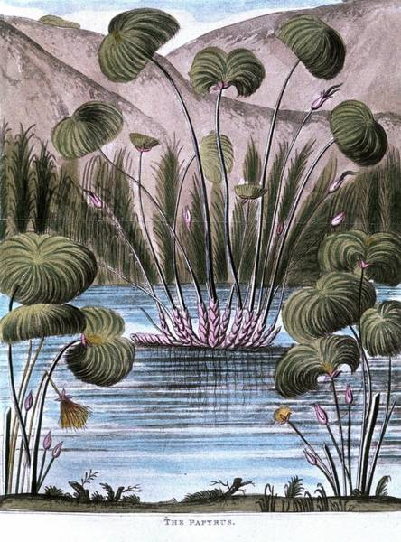 Etc Wall Art - Photograph - Papyrus Reed (cyperus Papyrus) by Universal History Archive/uig