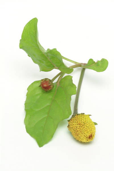 Medicinal Photograph - Paracress (spilanthes Acmella) by Bildagentur-online/th Foto/science Photo Library