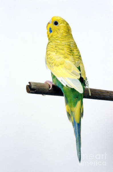 Photograph - Parakeet by Aaron Haupt