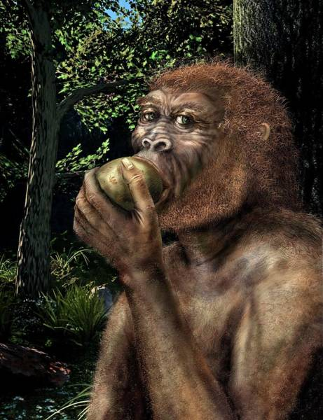 Paradox Photograph - Paranthropus Boisei Hominin by Nicolle Rager-fuller, National Science Foundation/science Photo Library